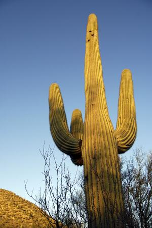 A Giant Saguaro Cactus teaches us about community