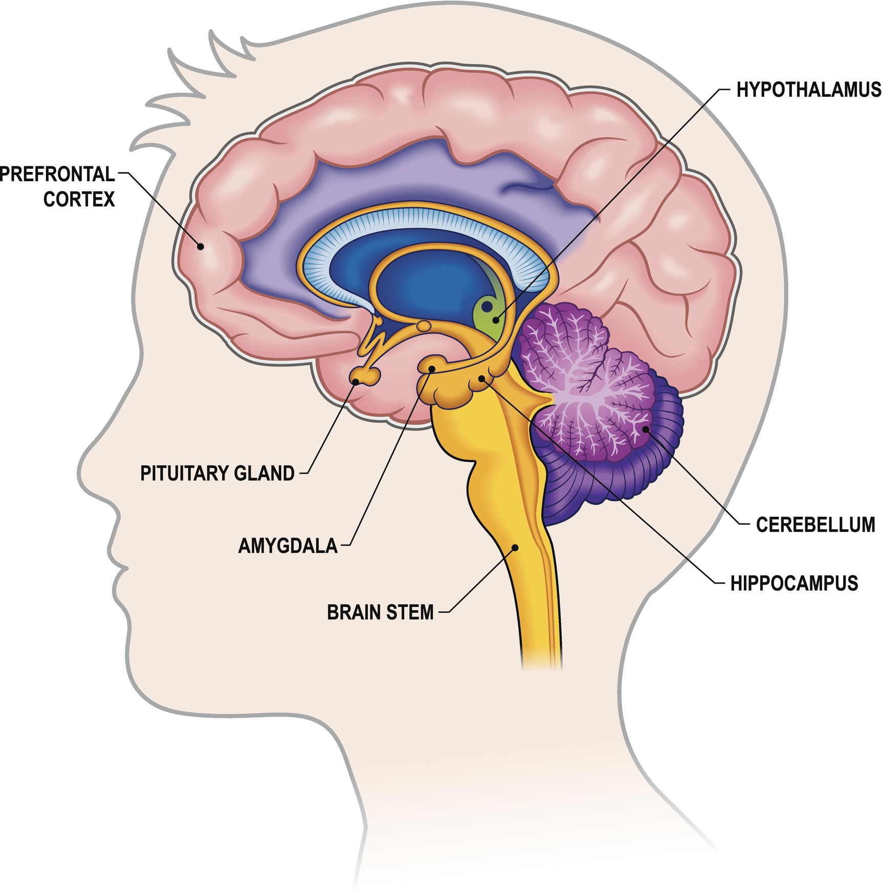 Parts of the human brain showing the amygdala