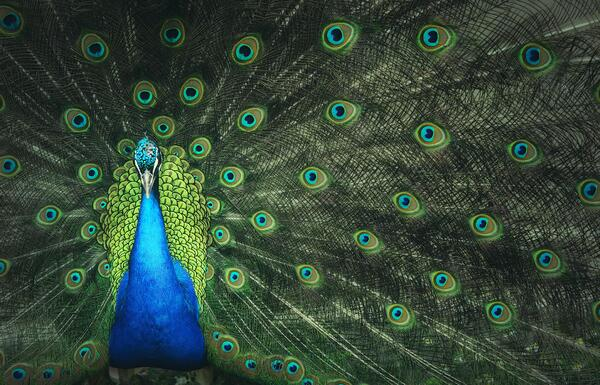 The lavishness of the male peacock