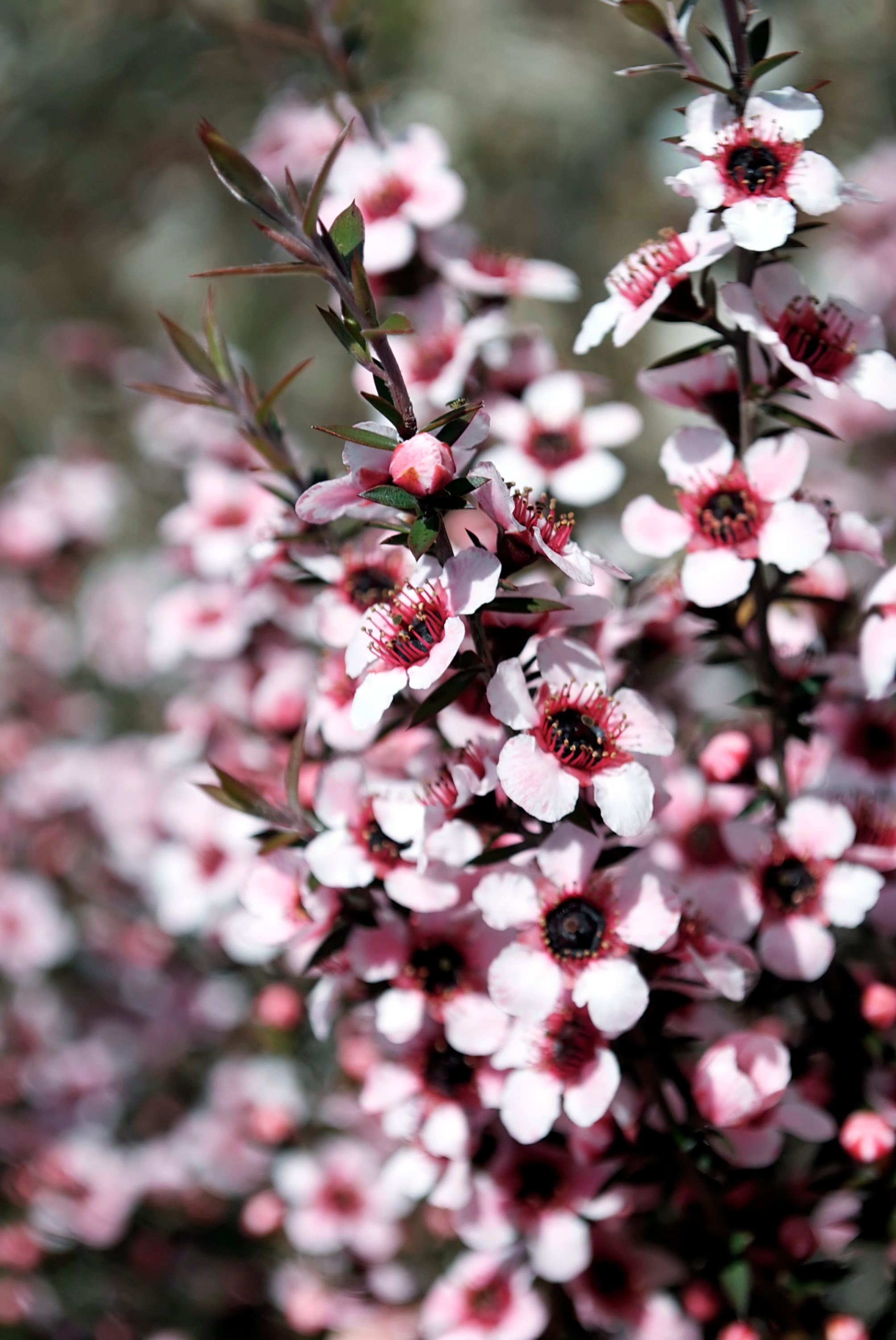 Manuka Tea Tree Blossoms