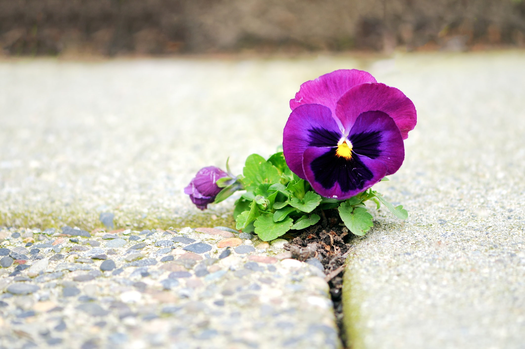 Purple pansy growing in a crack of sidewalk