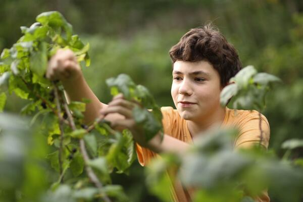 Teenager gardening and pruning tomato plants