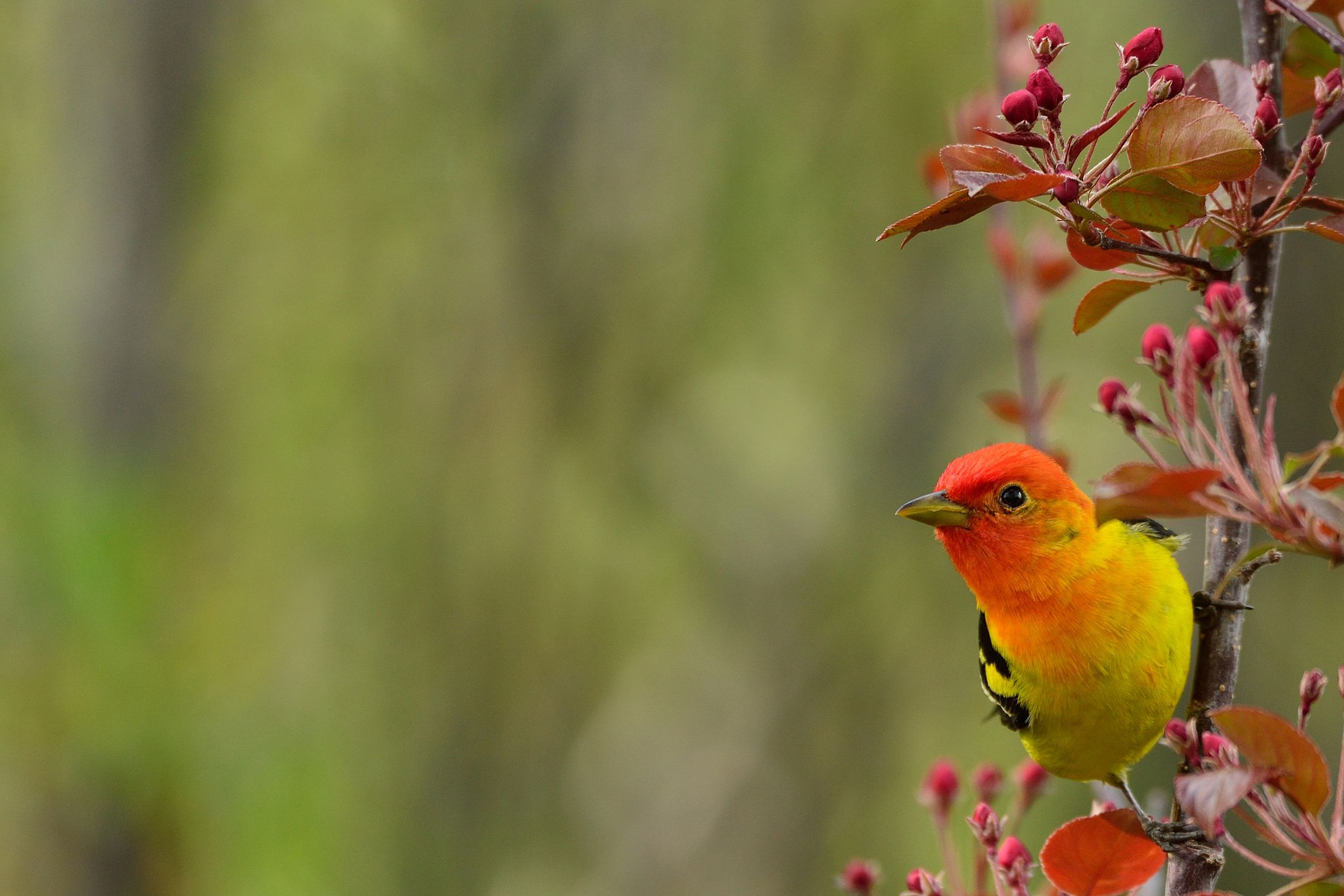Western Tanager in Japanese Crab Apple tree
