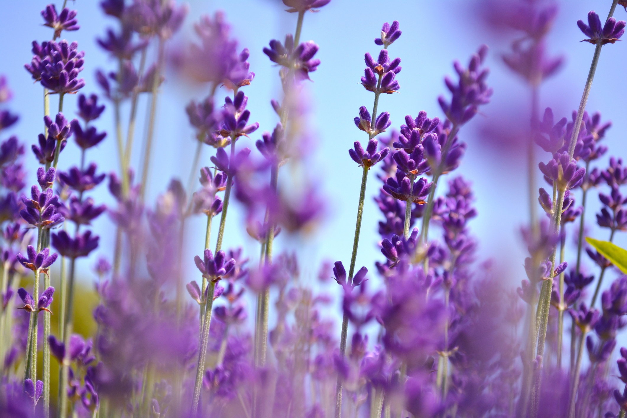 Lavenders-flowers.-Ontario,-Canada,-Prince-Edward-Country.-821751490_2125x1416.jpeg